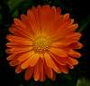 Rich Orange Gerbera......
