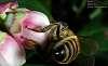 Bee Hind !