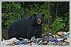 Bear gets into my garbage at 12, K-3 focuses in the dark