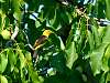Yellow Bird in Walnut Tree
