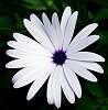 A White Daisy.....