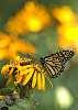 Butterflies...
