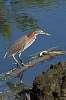 Wading Herons