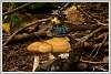 Summer-mushrooms-withBW-bear