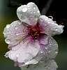 Weeping Cherry Tree Blossom......