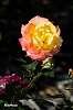 Rose (again)