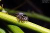 Fat little jumping spider >
