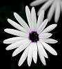 The White Daisy with.....