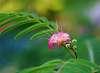 Pentax M 100mm f/2.8 , Albizia blossoming...