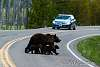 Stop!!! Bear family crossing the road...