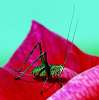 Small Bush Cricket............