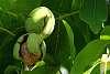Walnut tree dropping nuts
