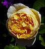 Tightly packed Yellow Rose.............