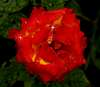 Refreshed Red & Yellow Rose.....