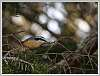 Nuthatches and Grey Jays