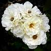 Big Cluster of White Roses.......