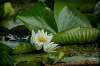 Nymphaea / Fragrant Water Lily