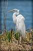 Great Egret in the wind...