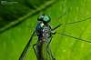 Long legged Fly ( More Macro )