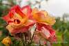 Raindrops roses