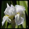 White Iris & Purple Iris