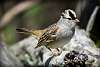 White-crowned Sparrow ... crowned!