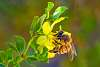 Bee in Creosote