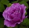 Purple or Mauve..........