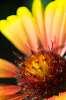 Flower à la Projector lens mutant