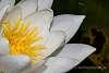 White Nymphea
