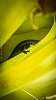 Green Gold Dust Gecko