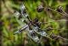 Libellule gracieuse / Twelve-Spotted Skimmer [Libellula pulchella]