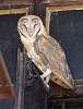 Barn Owl sleeping
