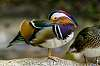 Mandarin (bird)