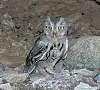 Screech Owl Eyes