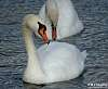 Swan taking a breather