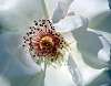 Arctic White Stamen........