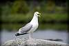 Mother and baby Herring Gull