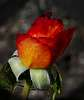 Bud of a Blended Rose..........