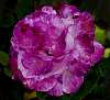 Decaying Purple Marbled Rose......