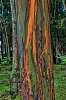 Holy Eucalyptus I've been Bamboozeld