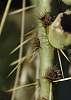 Sticky -- Prickly Pear