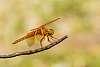 Desert Golden Dragon