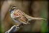 Bruant à gorge blanche / White-throated Sparrow [Zonotrichia albicollis]