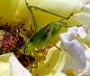 Another Green Bush Cricket.....