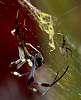 Golden Orb Weaver with Partner..........