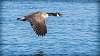 Goose in Flight...