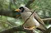 attack of the Noisy Myna