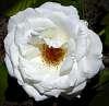 White like Christmas......