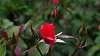 Parliamentary Roses